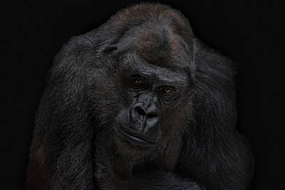 I Will Never Gonna Be A Silverback Poster by Joachim G Pinkawa