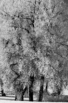 Iced Cottonwoods Poster by Colleen Coccia