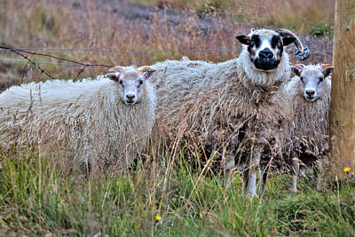 Icelandic Sheep Poster by Joana Kruse
