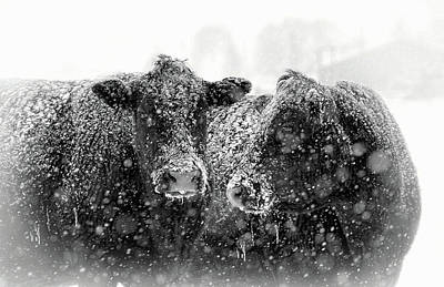 Icicles On My Nose Black Angus Cows Poster by Jennie Marie Schell