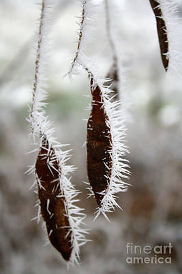 Icy Seed Pods Poster by Carol Groenen