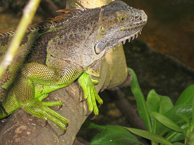 Iguana - A Special Garden Guest Poster by Christiane Schulze Art And Photography