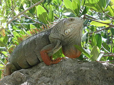 Poster featuring the photograph Iguana Daze by Nancy Taylor