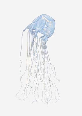 Illustration Of Box Jellyfish (cubozoa) Poster