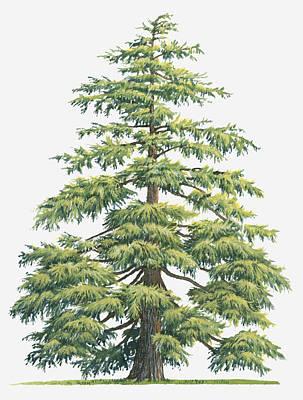 Illustration Of Evergreen Cedrus Deodara (deodar Cedar, Himalayan Cedar Tree Poster