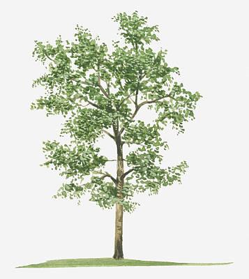 Illustration Of Pterocarpus Santalinus (red Sandalwood) Evergreen Tree Poster