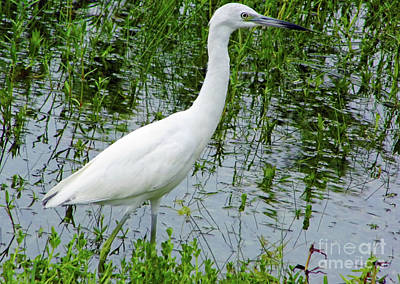 Immature Little Blue Heron Poster