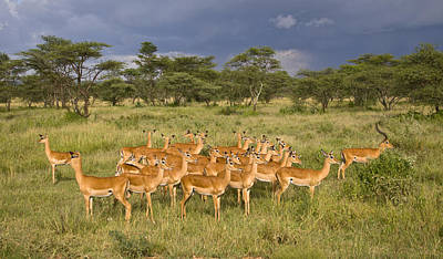 Impala Herd - Serengeti Plains Poster
