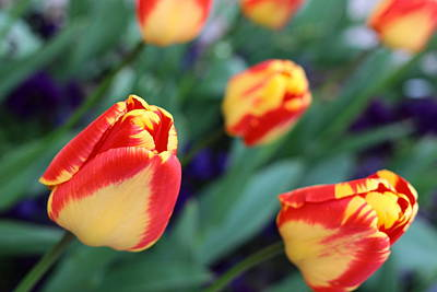 Impression Of Yellow-red Tulips Poster by Rusalka Koroleva