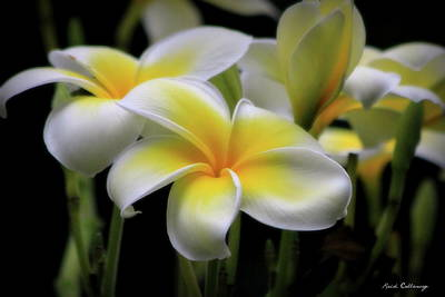 In Love With Butterflies Plumeria Flower Art Poster by Reid Callaway