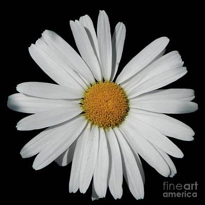 In The Spotlight White Daisy Poster