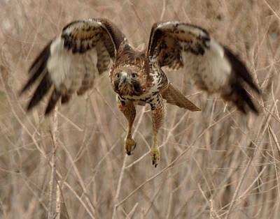 Inbound Red Tail Hawk Poster