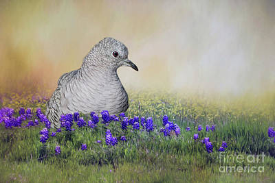 Inca Dove  Poster by Bonnie Barry