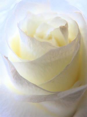 Incandescent Rose Poster