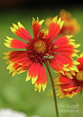 Indian Blanket And Metallic Green Bee Poster