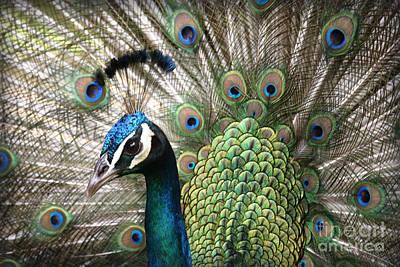 Indian Blue Peacock Puohokamoa Poster by Sharon Mau