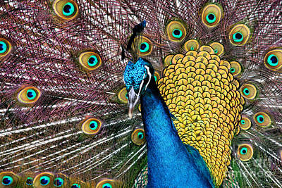 Indian Blue Peacock Poster by Sharon Mau