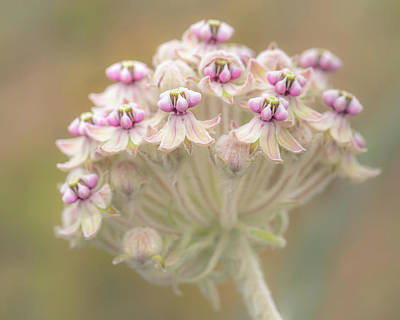 Poster featuring the photograph Indian Milkweed Flower Umbel by Alexander Kunz
