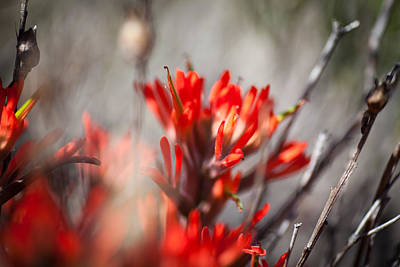 Indian Paintbrush Poster by Del Duncan