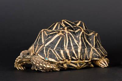 Indian Star Tortoises Geochelone Poster by Joel Sartore