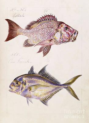 Indigenous Fish Of Ceylon Poster
