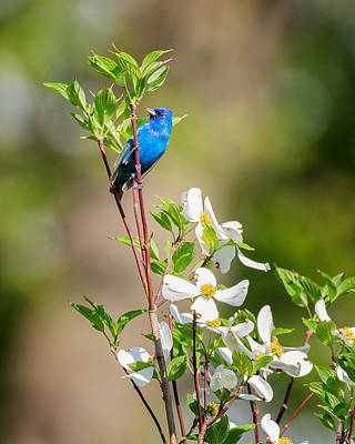 Indigo Bunting In Flowering Dogwood Poster by Bill Wakeley