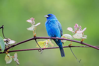 Indigo Bunting Perched Poster by Bill Wakeley