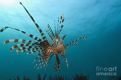 Indonesia, Lionfish Poster by Dave Fleetham - Printscapes