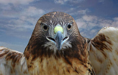 Inflight Frontal Red Tailed Hawk Poster by Sandi OReilly