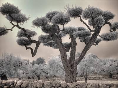 Infrared Spanish Olive Tree Bonsai Poster