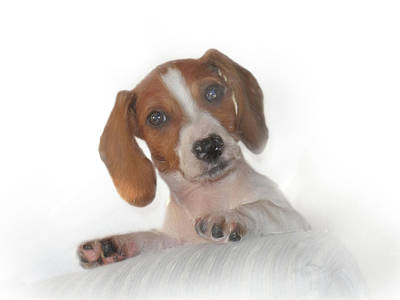 Poster featuring the photograph Inquisitive Dachshund by David and Carol Kelly