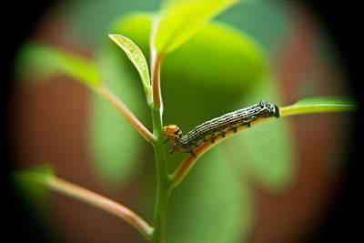Insect Larva 5 Poster by Douglas Barnett