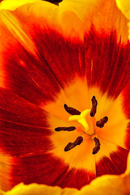 Inside Red And Yellow Tulip Poster by Garry Gay