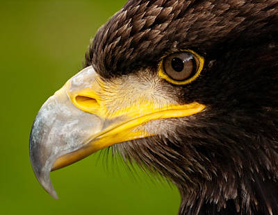 Intense Gaze Of A Golden Eagle Poster