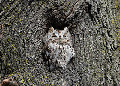 Poster featuring the photograph Invincible Screech Owl by Stephen Flint