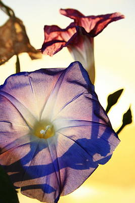 Ipomoea With Rising Sun Behind Poster