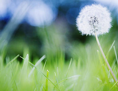 Ireland, County Westmeath, Dandelion In Meadow Poster by Jamie Grill