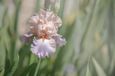 Iris Celebration Song 3. The Beauty Of Irises Poster