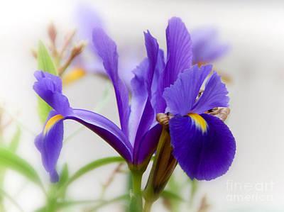 Spring Iris Poster by Elaine Manley