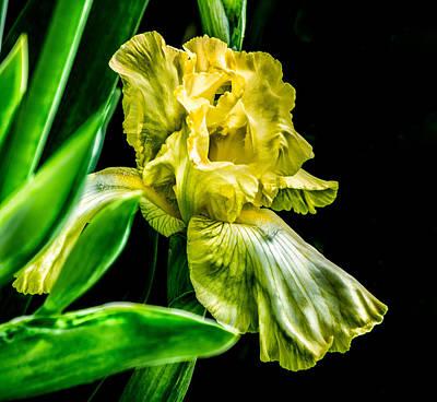 Iris In Bloom Poster