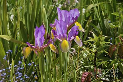 Iris In My Garden Poster by Terri Waters