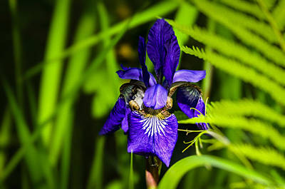 Poster featuring the photograph Iris Versicolor by Mark Myhaver