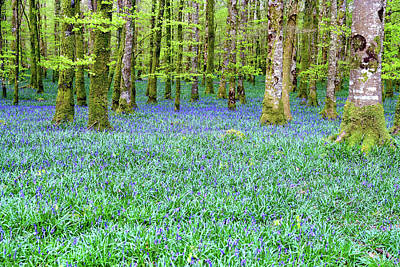 Irish Bluebell Woods - Lissadell, Sligo - New Leaves On The Trees And With A Carpet Of Blue Under Poster