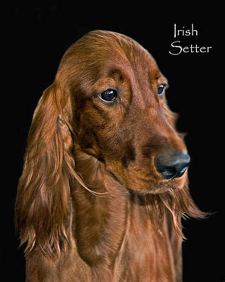 Irish Setter Poster by Larry Linton