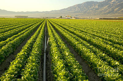Irrigation Pipe In A Lettuce Field Poster