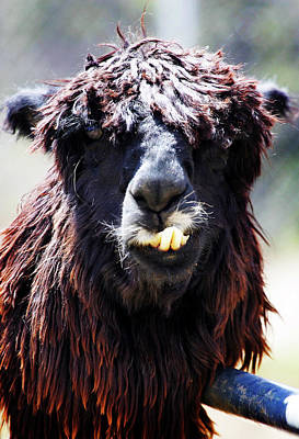 Poster featuring the photograph Is Your Mama A Llama? by Anthony Jones