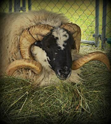 Isle Of Skye Big Horn Sheep Poster by Kathy Barney