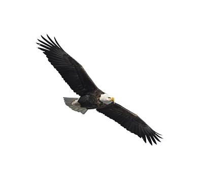 Isolated American Bald Eagle 2016-2 Poster