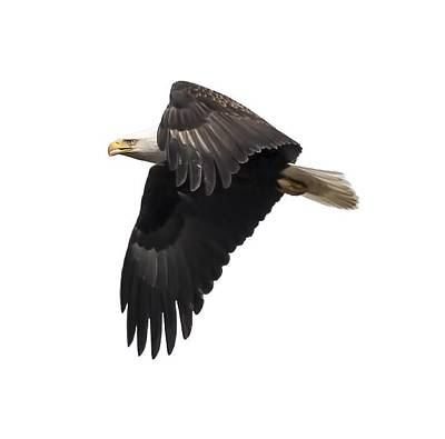 Isolated American Bald Eagle 2016-6 Poster