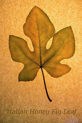 Poster featuring the photograph Italian Honey Fig Leaf 4 by Frank Wilson